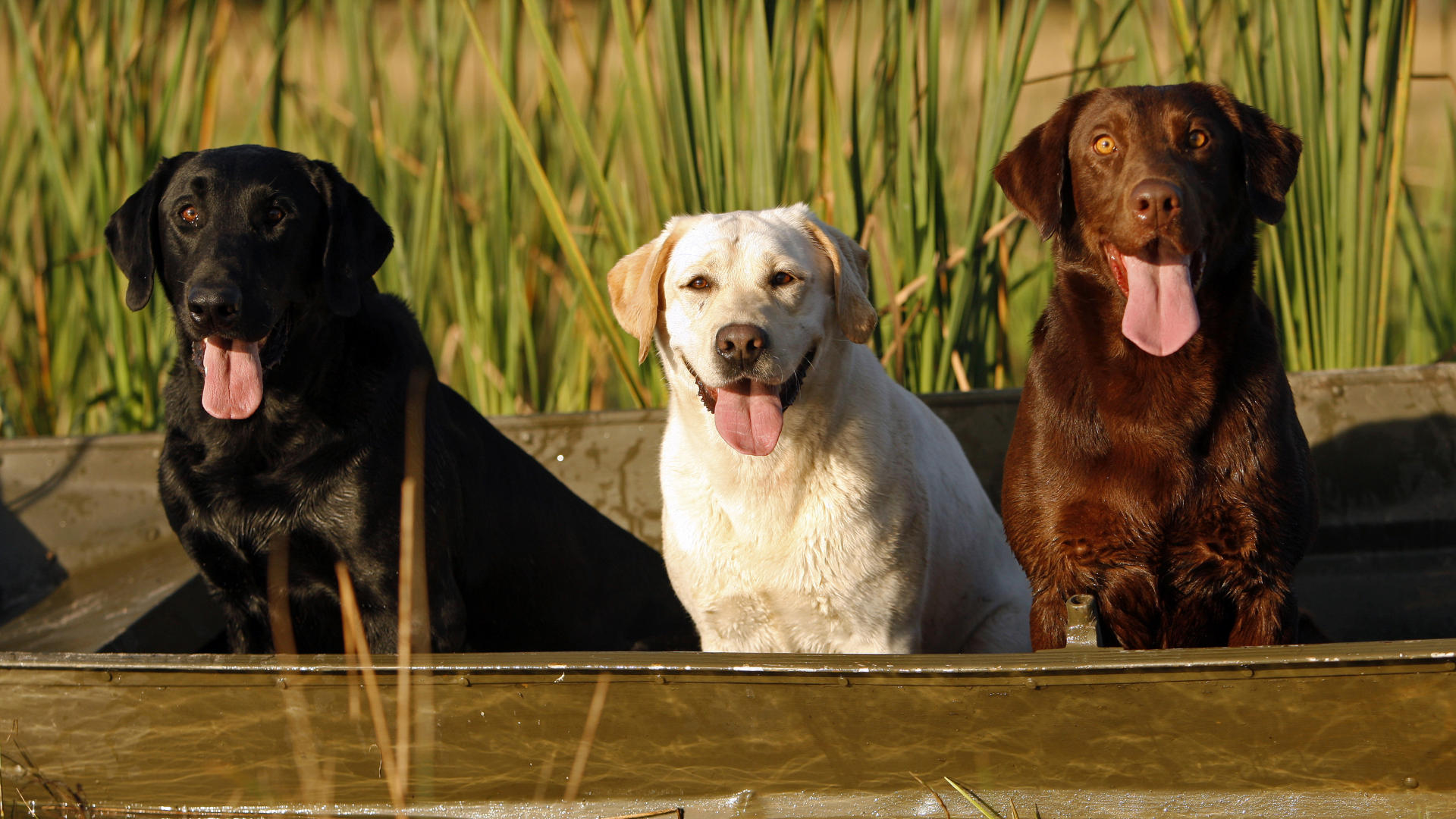 Labrador Retrievers for Dog Training